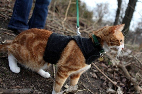 Leash Trained Cat