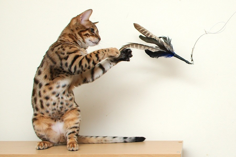 Cat Playing With Fake Bird